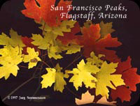 Maple leaves form San Francisco peaks